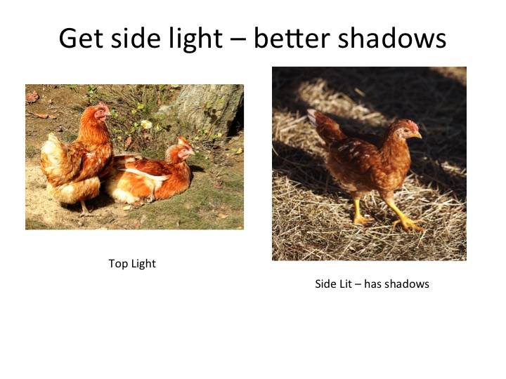 better-chickens