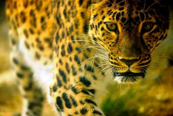 pmp-art-linda-willason-leopard